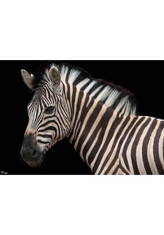 KOMAR Vliestapete »Damara Zebra«, Das Damara - Zebra lebt in kleinen Familienverbunden kaufen