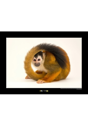 KOMAR Wanddekoration »Central American Squirrel Monkey« kaufen