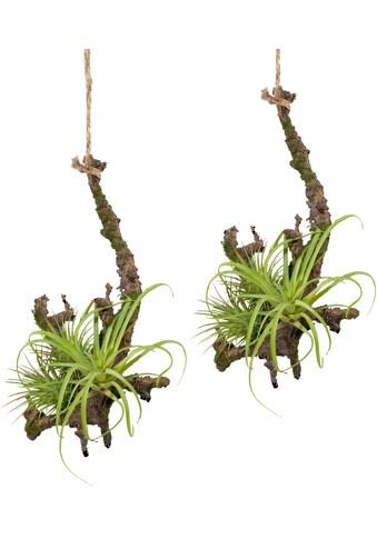 Creativ green Kunstpflanze »Hängeast mit Tillandsie«, 2er Set kaufen