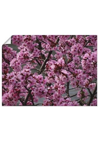 Artland Wandbild »Japanische Zierkirschen Blüte«, Bäume, (1 St.), in vielen Grössen & Produktarten - Alubild / Outdoorbild für den Aussenbereich, Leinwandbild, Poster, Wandaufkleber / Wandtattoo auch für Badezimmer geeignet kaufen
